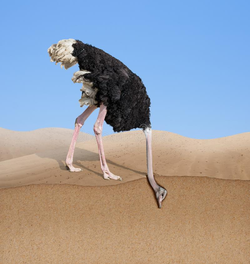 Avestruz com a cabeça que enterra no conceito da areia fotos de stock royalty free