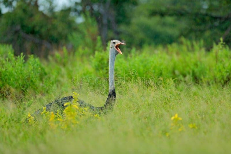 Avestruz comum, camelus do Struthio, pássaro grande que alimenta a grama verde no savana com conta aberta, Botswana, Okavango em  fotografia de stock royalty free