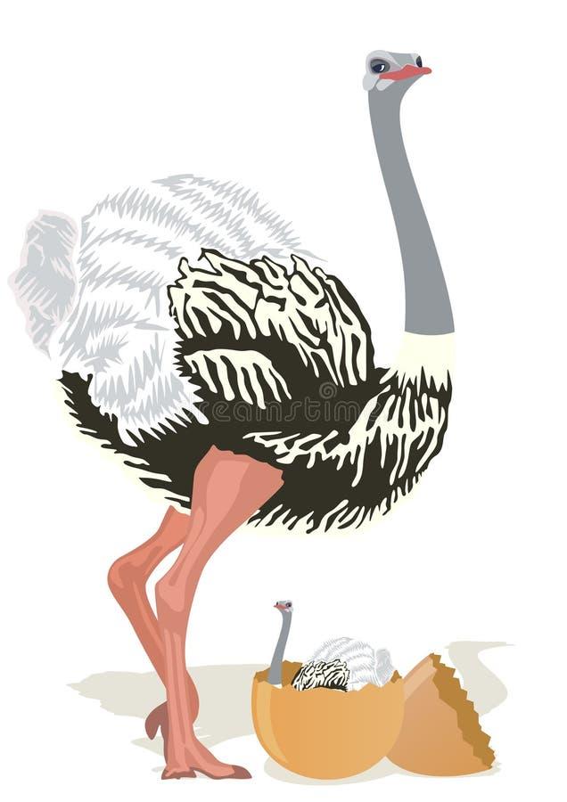 Avestruz con los polluelos libre illustration