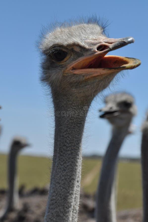 Avestruz curiosa fotos de archivo