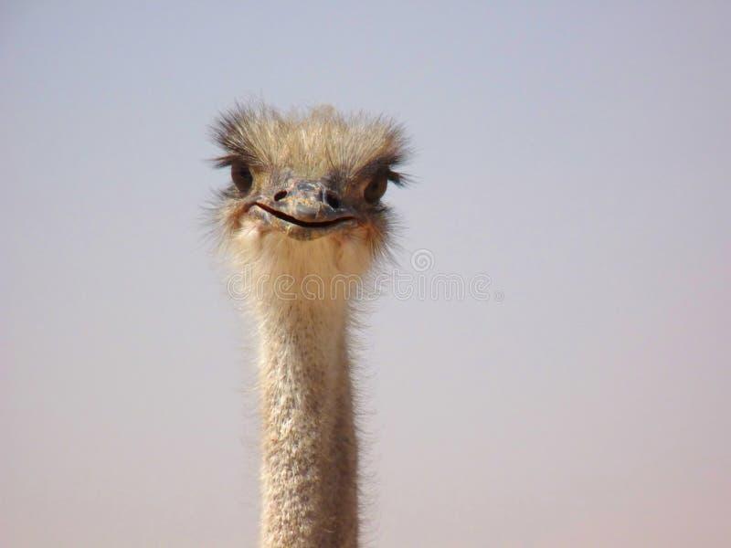 Avestruz curiosa engraçada imagem de stock