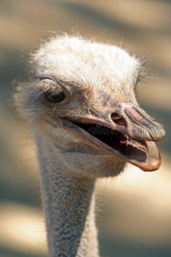 A avestruz da avestruz head fotografia de stock royalty free