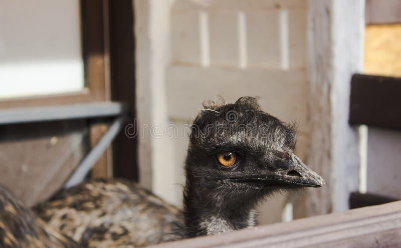 Avestruz de la UEM con el cuello alargado negro con una mirada triste detrás de la cerca en el parque zoológico en un día soleado imagenes de archivo
