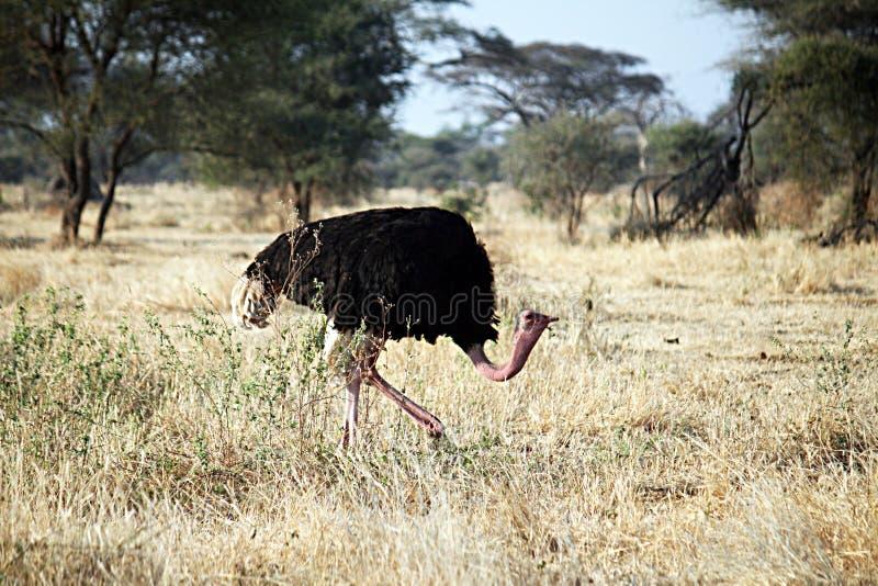 Avestruz de passeio do Masai imagem de stock royalty free