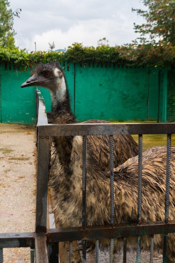 Avestruz del emú en el parque zoológico fotografía de archivo libre de regalías