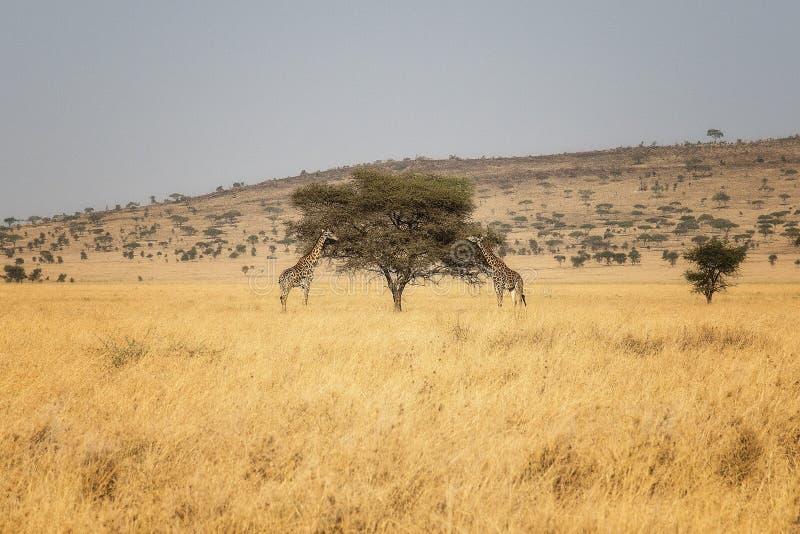 Avestruz del parque nacional de Serengeti imagen de archivo libre de regalías