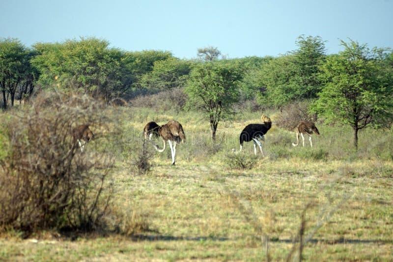 Avestruz em Botswana foto de stock royalty free