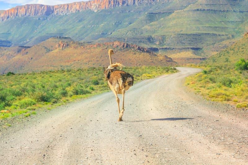 Avestruz en el camino de tierra del Karoo imagenes de archivo