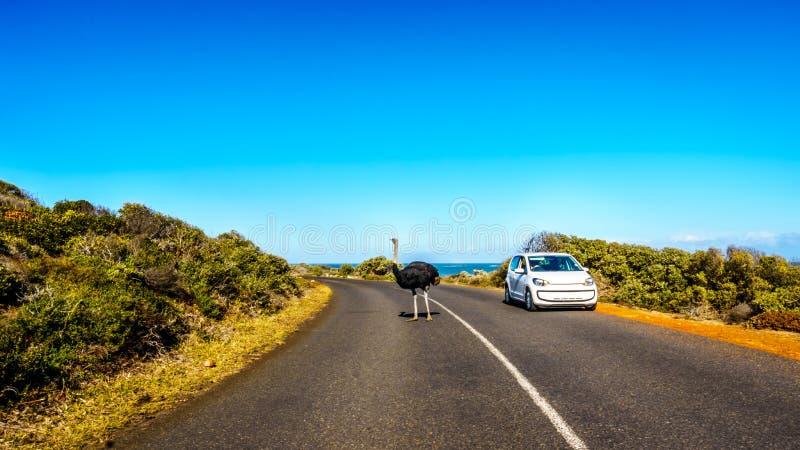 Avestruz en el camino del punto del cabo a Cabo de Buena Esperanza fotos de archivo
