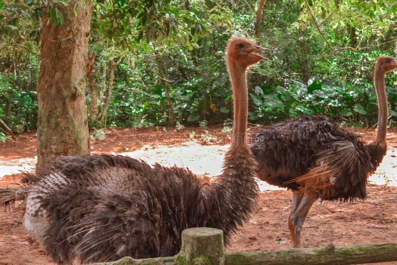 Avestruz en el parque China del safari de Hainan fotografía de archivo