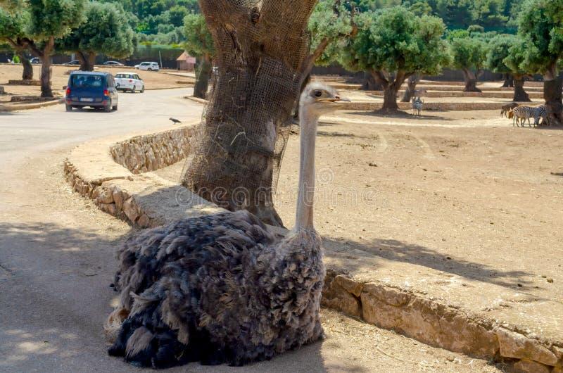 Avestruz en el parque zoológico Italia del safari del apulia de Fasano fotografía de archivo