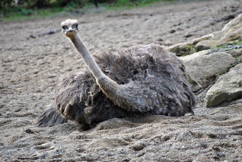 Avestruz femenina que tiene un baño de la arena foto de archivo
