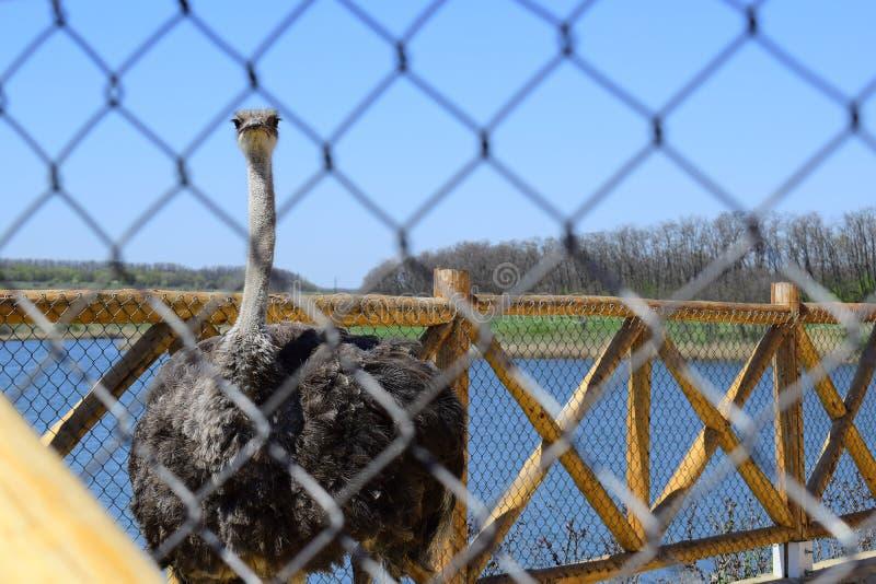 Avestruz grande, focinho com um bico enorme, close-up Animais no captiveiro no cerco Parque exterior com pássaros fotografia de stock