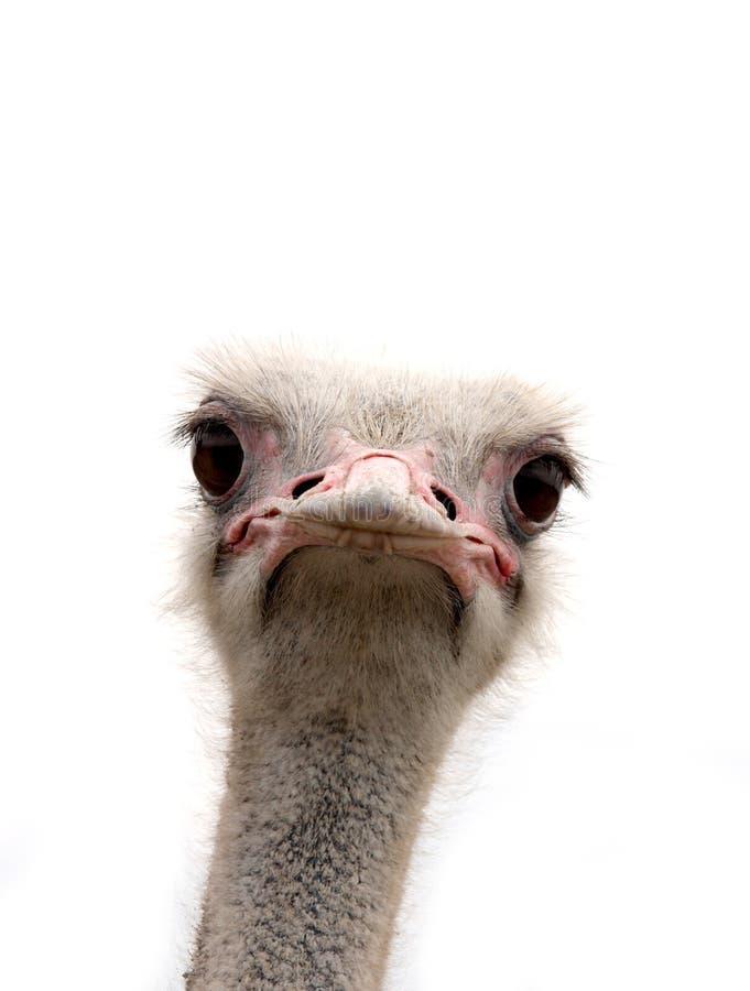 Avestruz isolada no branco fotos de stock royalty free