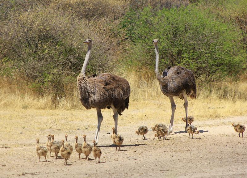 Avestruz - mamãs animais fotografia de stock