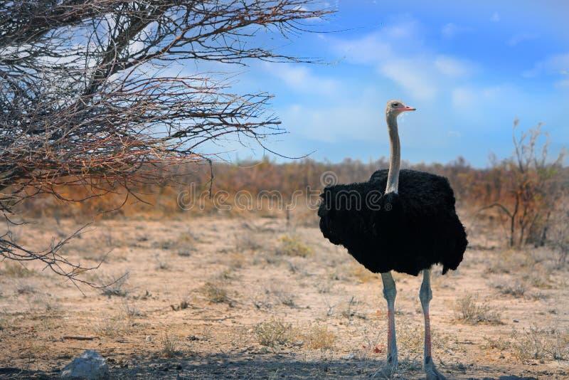Avestruz masculina grande que se coloca en los llanos en Etosha fotografía de archivo libre de regalías