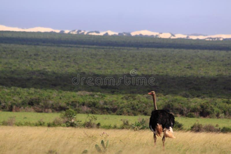 Avestruz masculina selvagem África do Sul fotografia de stock