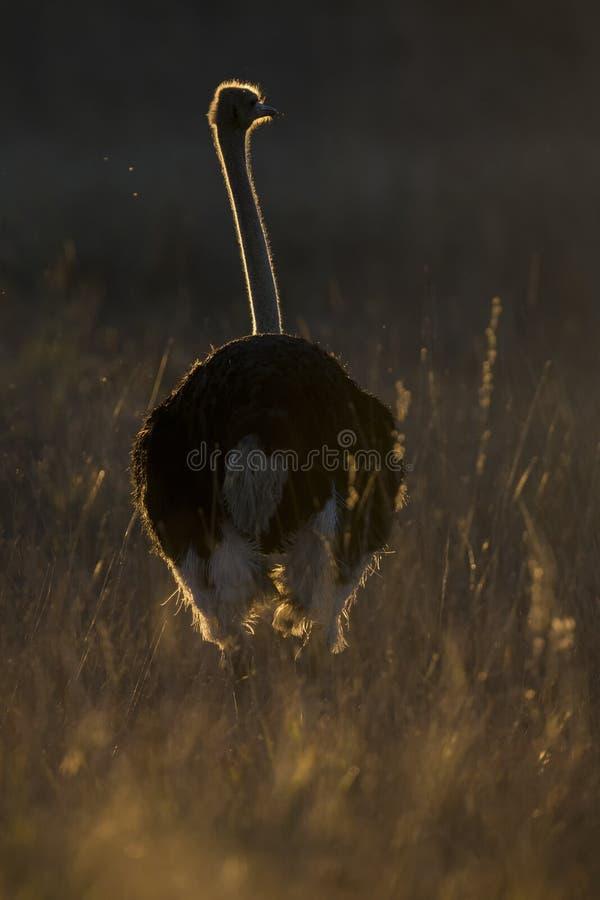 Avestruz masculina solitaria en la puesta del sol con la iluminación del borde en hierba imagenes de archivo
