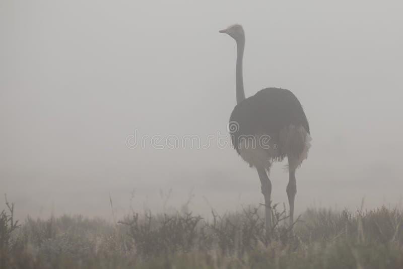Avestruz masculina solitaria que se coloca en niebla de la madrugada de Kalahari imagenes de archivo