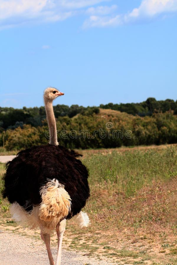 Avestruz na paisagem. imagem de stock royalty free