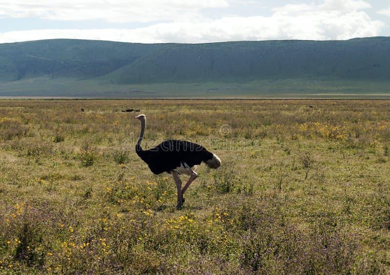 Avestruz nas pradarias de Tanzânia imagens de stock