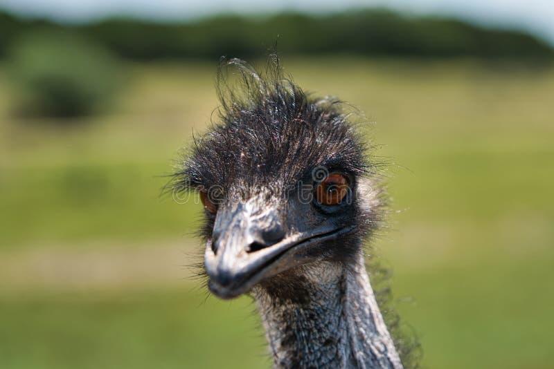 Avestruz necked preta que levanta para um tiro principal imagens de stock