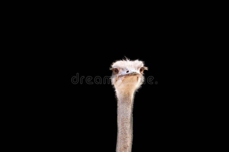 Avestruz principal isolada no fundo preto fotografia de stock