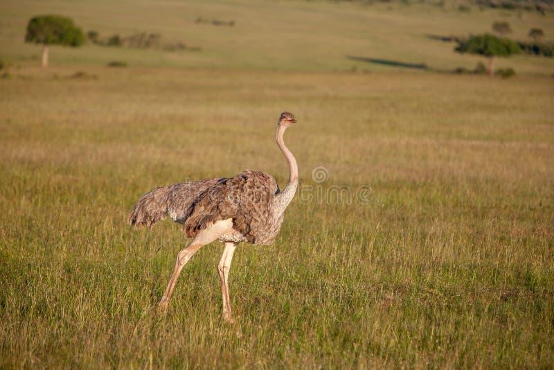 Avestruz que anda no savana em África safari imagens de stock royalty free