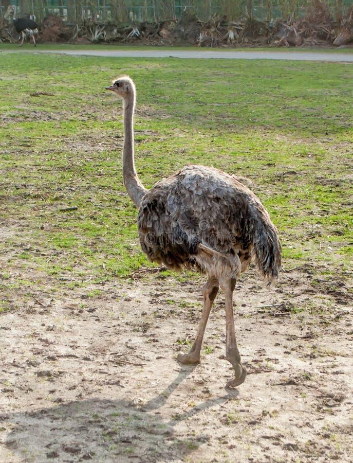 Avestruz que camina en el parque de la primavera a lo largo del camino imagen de archivo libre de regalías