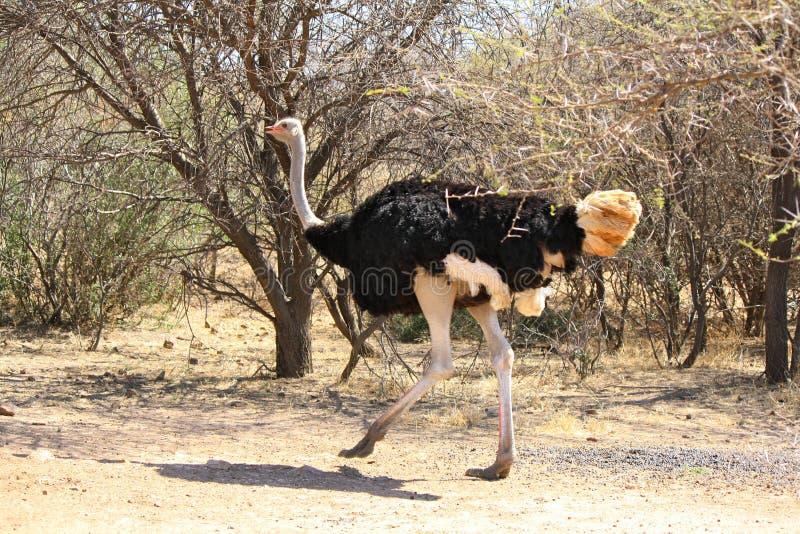 Avestruz que corre en el camino de la pista de tierra en Botswana imágenes de archivo libres de regalías