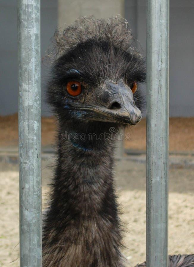 Avestruz que espreita para fora entre das barras foto de stock