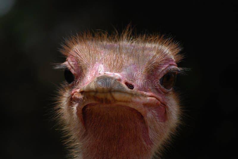 Avestruz que mira en el parque nacional Kenia África de Nairobi de la cámara imágenes de archivo libres de regalías