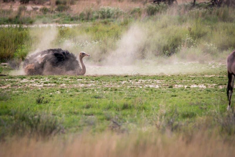 Avestruz que tiene un baño del polvo en Kgalagadi fotografía de archivo libre de regalías