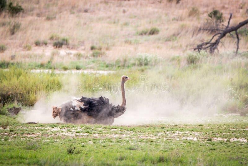 Avestruz que tiene un baño del polvo en Kgalagadi fotografía de archivo
