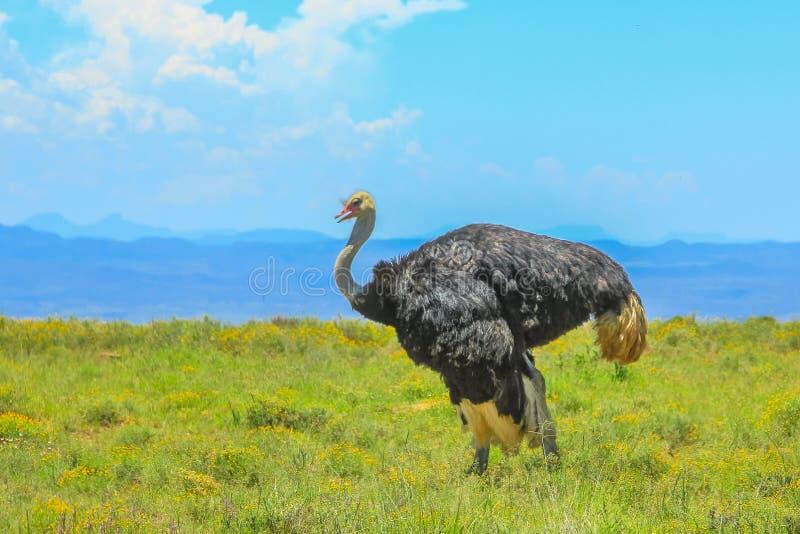Avestruz salvaje en fondo de la hierba fotografía de archivo
