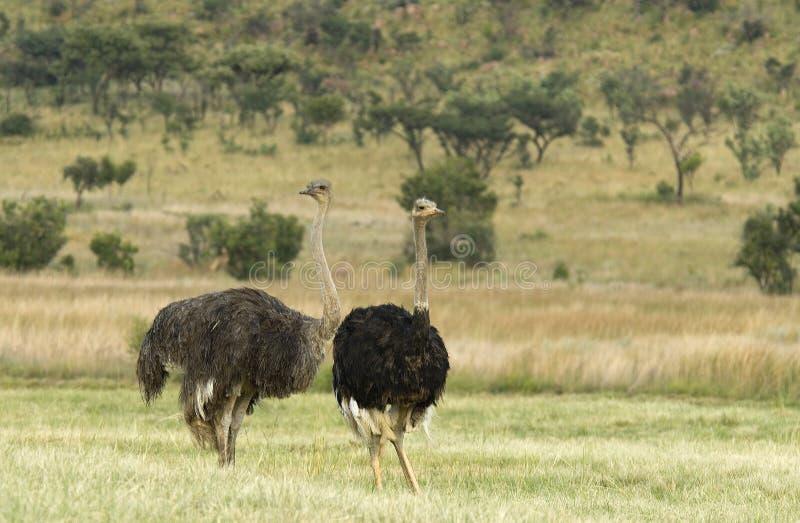 Avestruz; Struisvogel; Camelus del Struthio foto de archivo libre de regalías