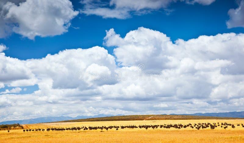 Avestruz surafricana foto de archivo libre de regalías