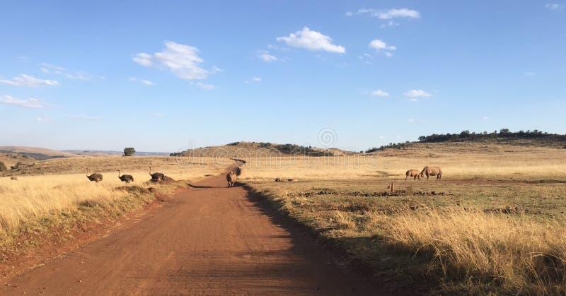 Avestruz y rinoceronte fotos de archivo libres de regalías