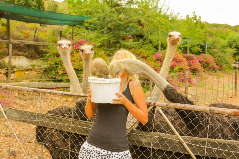 Avestruzes de alimentação da mulher foto de stock