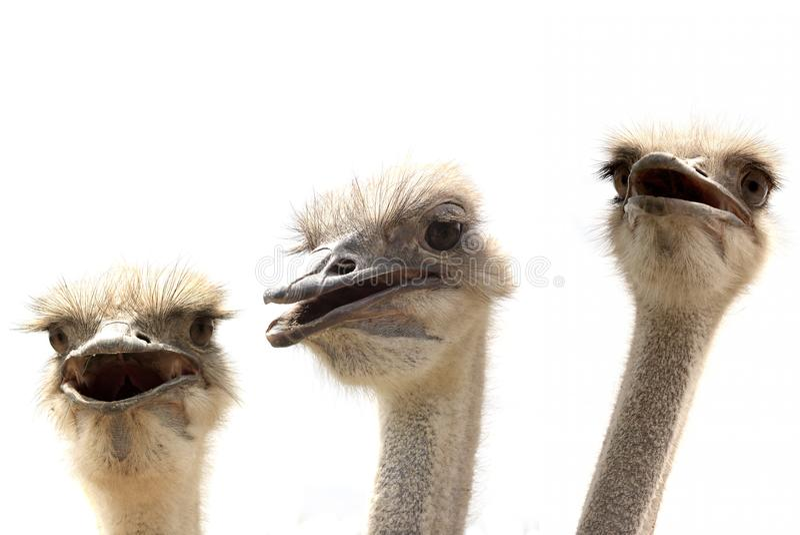 Avestruzes isoladas no branco fotografia de stock royalty free