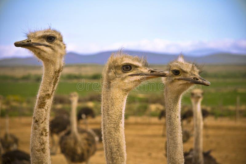 Avestruzes no Karoo fotografia de stock