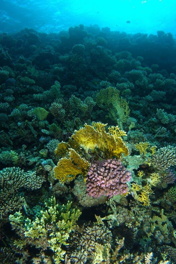 Avfyra korall och rosa hård korall inom reven arkivfoto