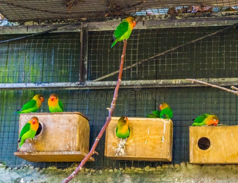 Aviário completo com periquitos de fischer, pássaros tropicais coloridos de África, animais de estimação populares no avicul imagens de stock