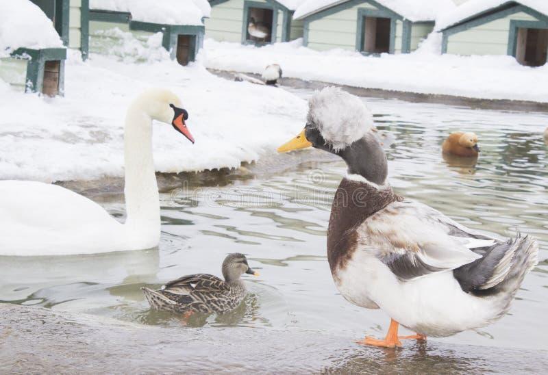 aviary as raças diferentes dos pássaros vivem junto Cisne branca com fotos de stock