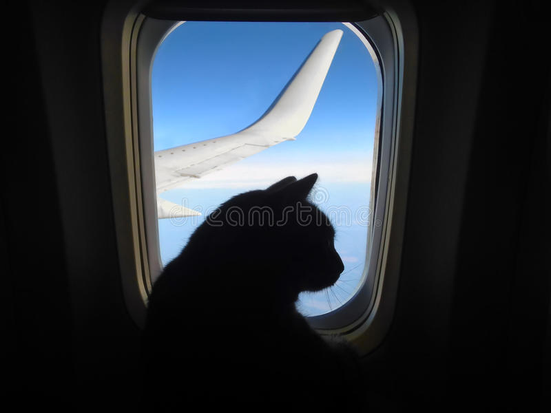 Aviation cat flying in an airplane looking out the porthole overlooking the blue sky wing. Silhouette of cat in the airplane windo stock image