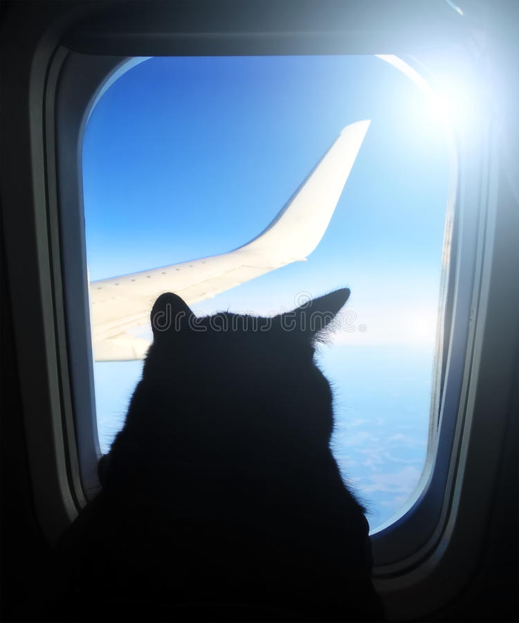 Aviation cat flying in an airplane looking out the porthole overlooking the blue sky wing. stock image