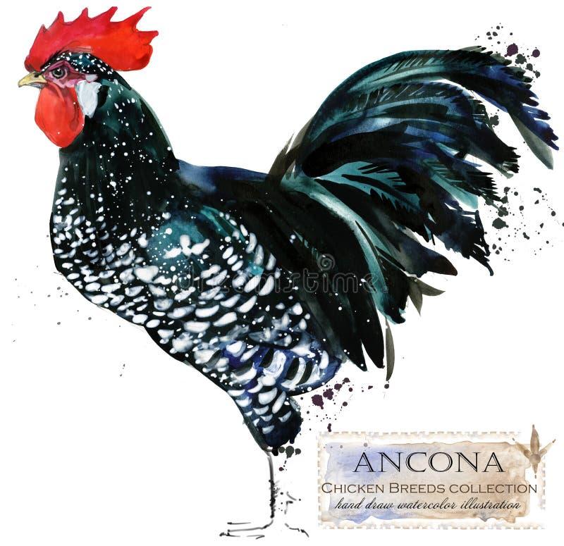 Avicultura El pollo cría serie ejemplo nacional de la acuarela del pájaro de la granja ilustración del vector