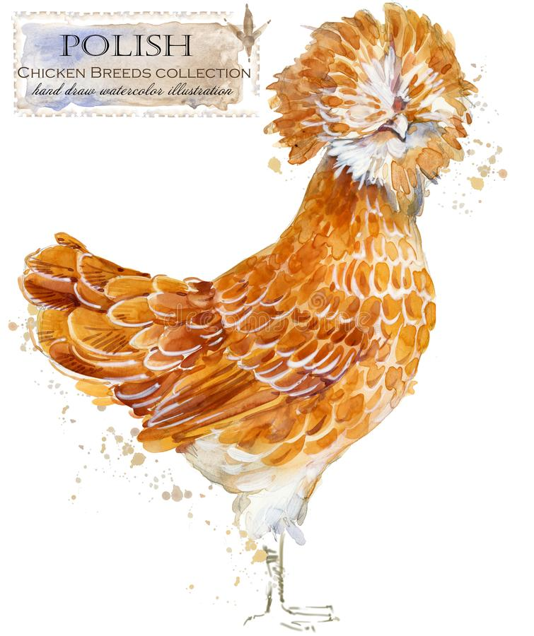 Avicultura El pollo cría serie pájaro nacional de la granja libre illustration