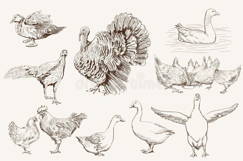 Aviculture stock illustratie