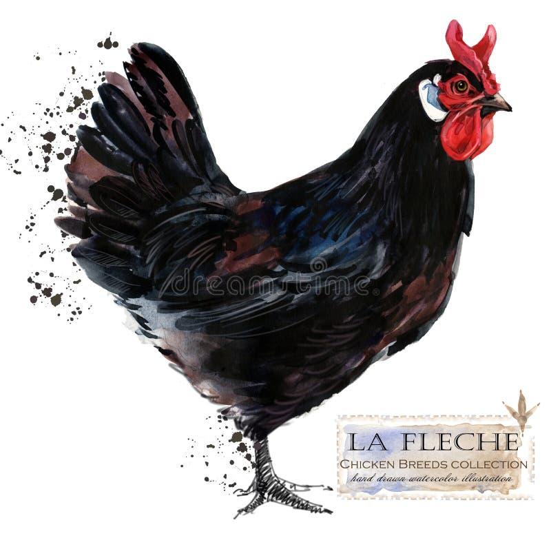 Aviculture Le poulet multiplie la série oiseau domestique de ferme illustration libre de droits